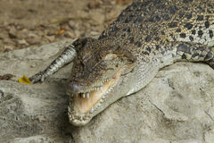 Big crocodile Stock Image