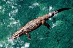 Big crocodile. Swimming in the water Stock Image