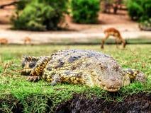 Big crocodile Royalty Free Stock Photography