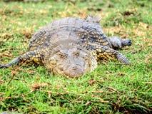 Big crocodile Stock Photo