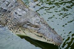 Big crocodile Stock Image