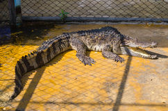 Big crocodile in a crocodile farm Royalty Free Stock Photo