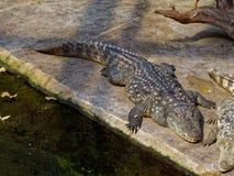 Big crocodile. Is deadly hunter stock photography