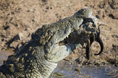 Big crocodile eats the head of springbok with horns Royalty Free Stock Image