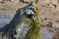 Big crocodile eats the head of springbok with horns Stock Images