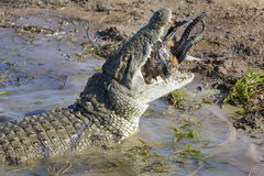 Big crocodile eats the head of springbok with horns Royalty Free Stock Photo