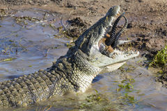 Big crocodile eats the head of springbok with horns Royalty Free Stock Images