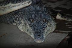 Big crocodile l. Ooking right at the camera Royalty Free Stock Image