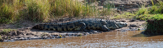 Big crocodile lies on the river bank Stock Images