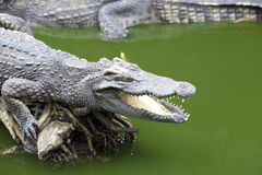 Big crocodile lies in Thailand river. Huge open jaws of an alligator, crocodile ready to strike. Royalty Free Stock Photos