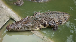 Big crocodile Stock Images