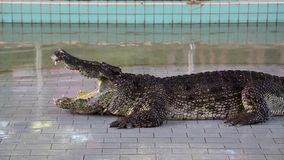 Big crocodile with open mouth at crocodile show. In Pattaya, Thailand stock footage