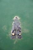 Big crocodile in pond Stock Image