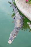 Big crocodile in pond Royalty Free Stock Photos