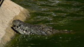 Big crocodile in a river. Crocodile or alligator in a river of a natural park or zoo stock video