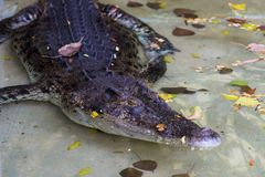 Big crocodile in the water Royalty Free Stock Images