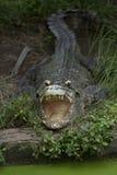 Big crocodile Royalty Free Stock Image