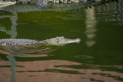 Big crocodile Royalty Free Stock Images