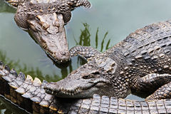 Big crocodiles Royalty Free Stock Photos
