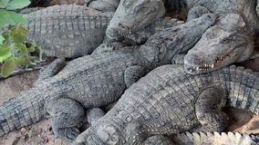 Big crocodiles lying on ground. Big crocodiles lying on the ground stock video
