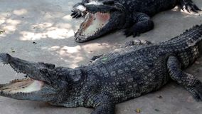 Big crocodiles. With open mouth stock video footage