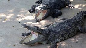 Big crocodiles. With open mouths stock video footage