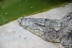 Big crocodiles resting in a crocodiles farm Royalty Free Stock Images