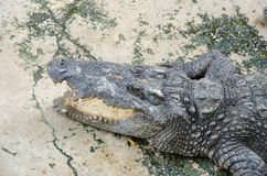 Big crocodiles resting in a crocodiles farm Stock Image