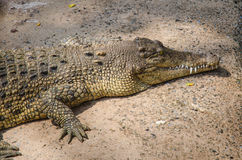 Big crocodiles resting in a crocodiles farm Stock Photography