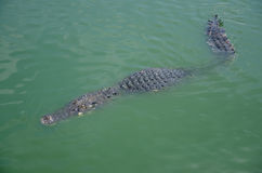 Big crocodiles resting in a crocodiles farm Royalty Free Stock Images