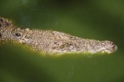 Big crocodiles resting in a crocodiles farm Royalty Free Stock Photos
