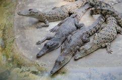 Big crocodiles resting in a crocodiles farm Royalty Free Stock Photography