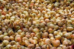 Big crop of onions. Drying of the big crop of onions Stock Images