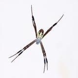 Big cross spider Stock Images