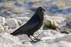 Big crow bird in glossy black plumage, heavy bill standing on ro. Ck by lake in Austria, Europe Royalty Free Stock Photo