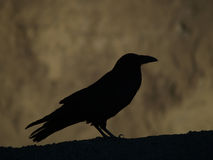 A big crow in Death Valley. A silhouette of a big crow in Death Valley, California Stock Image