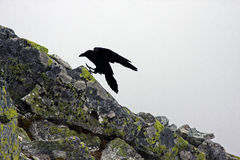 Big crow landing on a stone Royalty Free Stock Photo