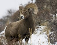 Big Curl. Big Horn Ram after a snowstorm in the Colorado Rockies Stock Images