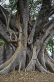 Big curved trunk of australian banyan tree, also known as ficus macrophylla Stock Image