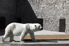 Big cute adult white bear walking in a zoo cage. Half resaturated image royalty free stock image