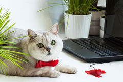 Big cute intelligent cat sitting next with computer screen and a mouse for the laptop. Royalty Free Stock Photos