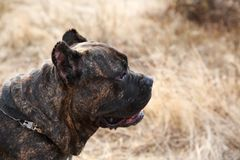 A big cute pitbull dog walking outdoors. Animal concept. Royalty Free Stock Photography