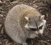 Big and cute Raccoon eating Royalty Free Stock Images