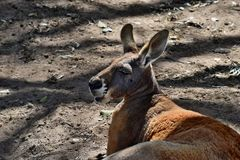 Big and cute wild red kangaroo looking Royalty Free Stock Image