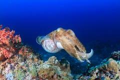 Big Cuttlefish. Royalty Free Stock Photos