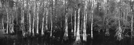 Big Cypress National Preserve. A stand of cypress trees in a slough through Big Cypress National Park.  Black and white the the white lichens on the tree Royalty Free Stock Images