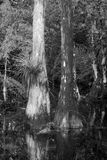 Big Cypress National Preserve. A stand of cypress trees in a slough through Big Cypress National Park.  Black and white the the white lichens on the tree Royalty Free Stock Photography