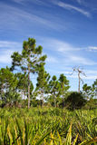 Big Cypress Pinelands Royalty Free Stock Photos