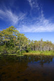 Big Cypress Swamp. Cypress Trees & Pond in the Everglades, Big Cypress National Preserve Stock Image