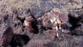 Big dad and little baby cancer hermit crab underwater on seabed of White Sea.
